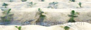proteccion-de-brotes-del-frio-en-cultivo-de-hortalizas-a-campo-abierto